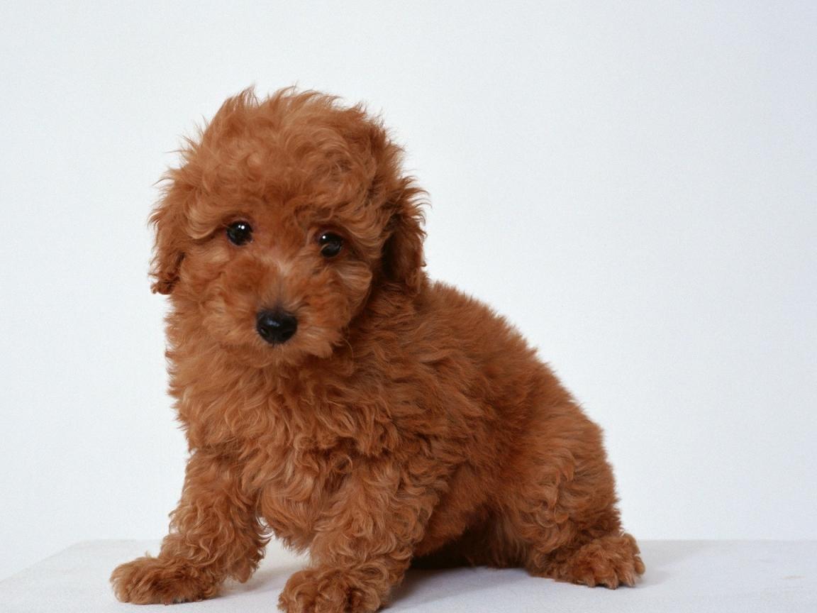 Características De La Raza Poodle Mini Toy Perrosamigoscom