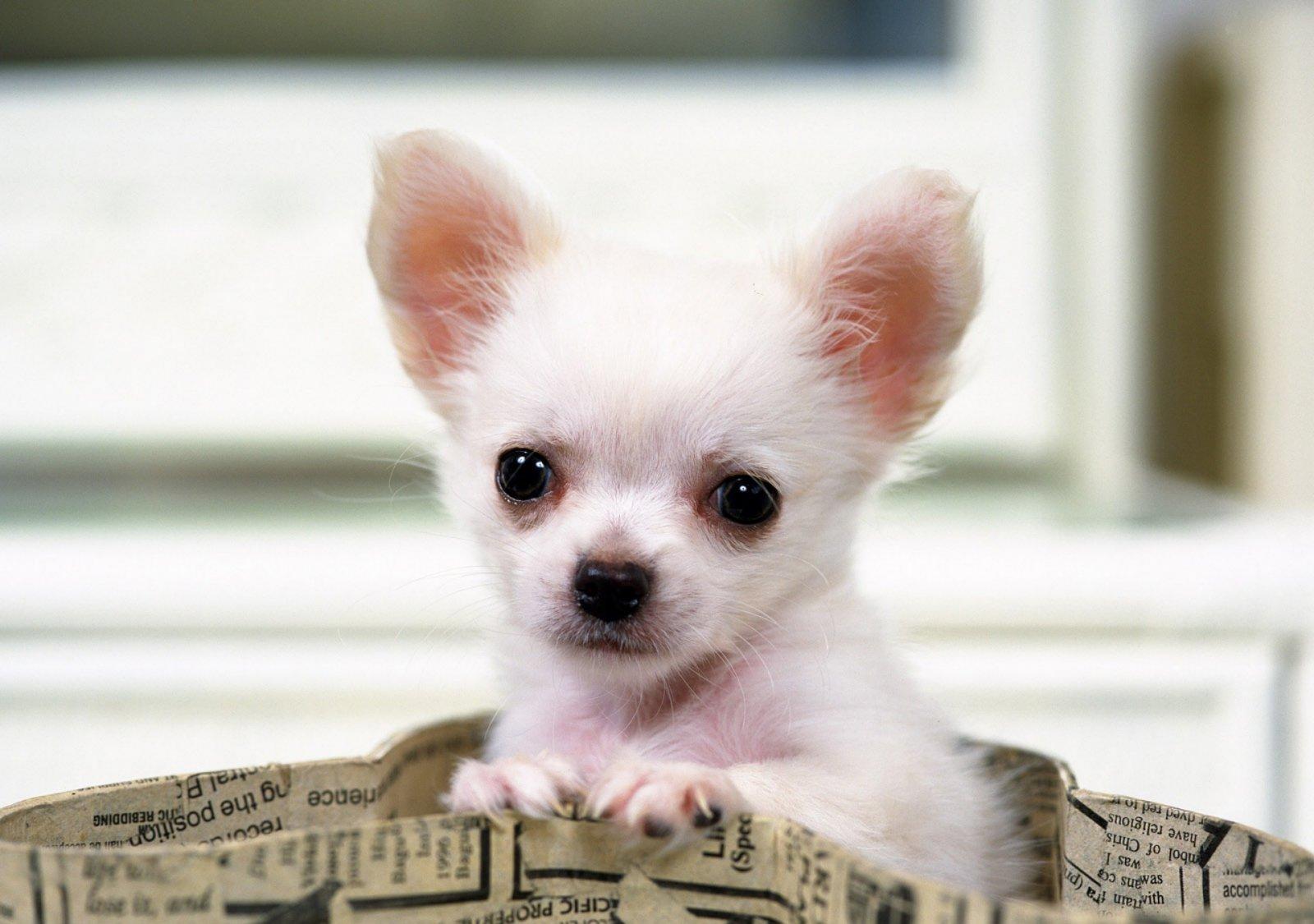 Chihuahua Perrosamigoscom