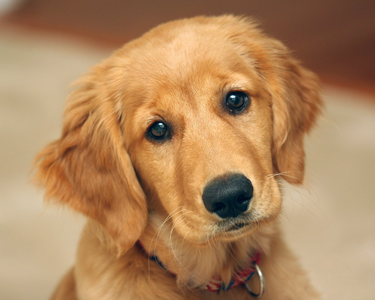 golden retriever foto cachorro: