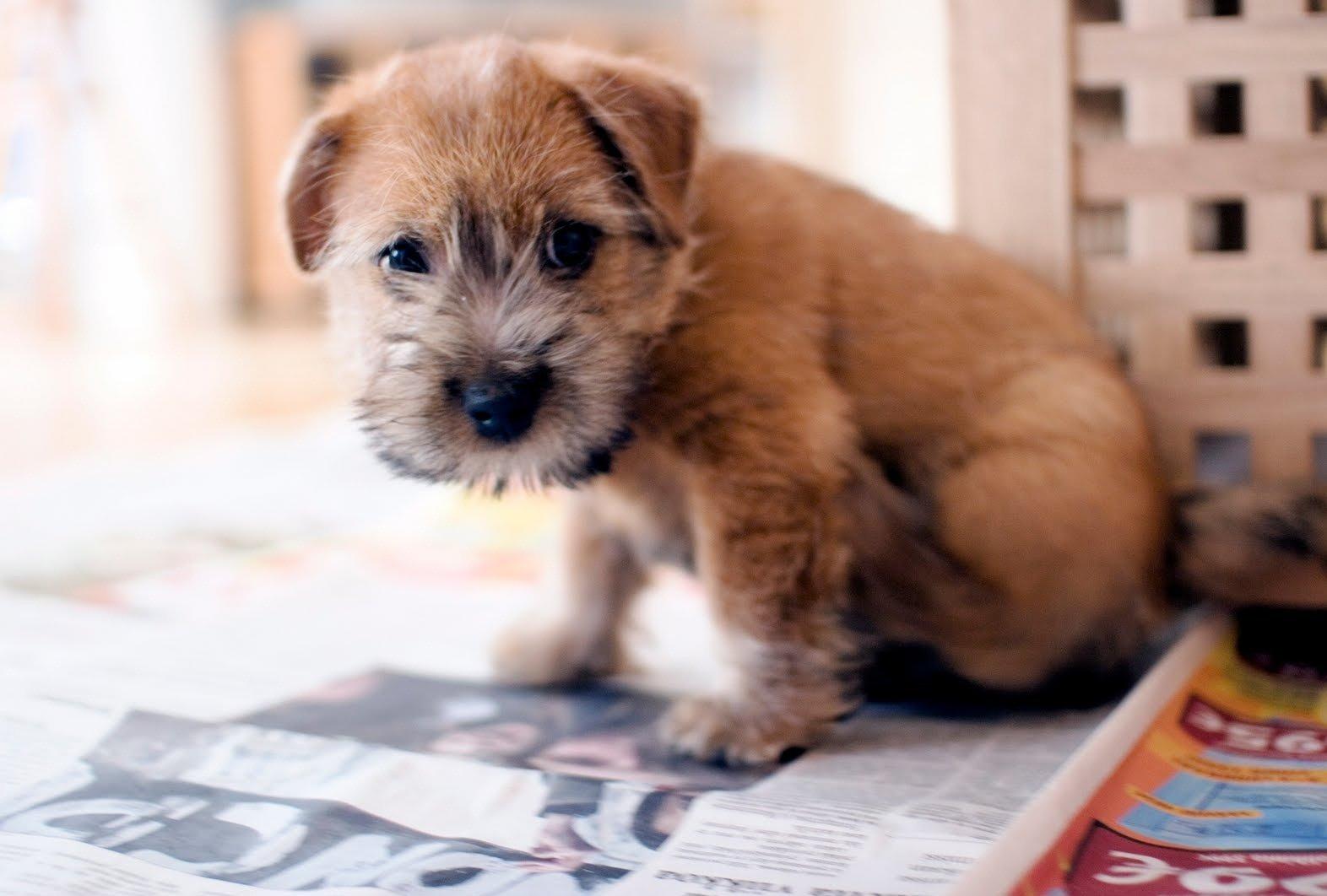 Norfolk Terrier. Norfo...