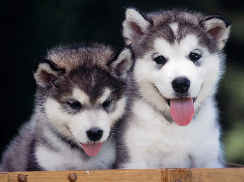 Husky Siberiano. PerrosAmigos.com