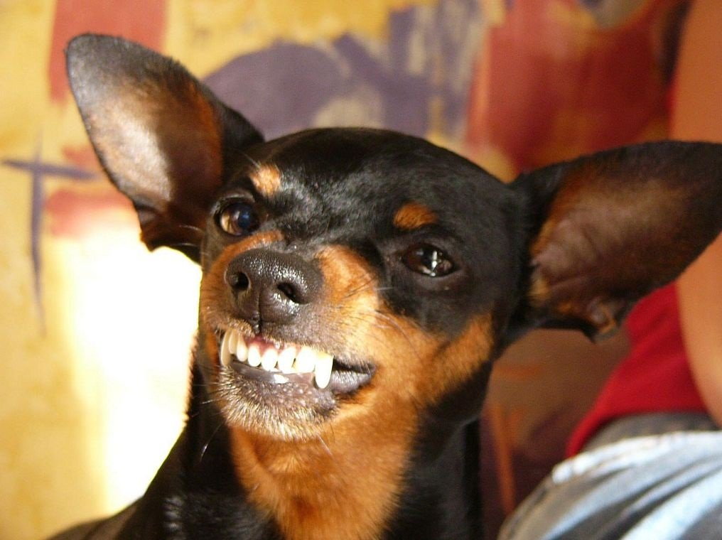 Pinscher enano for Pincher cucciolo