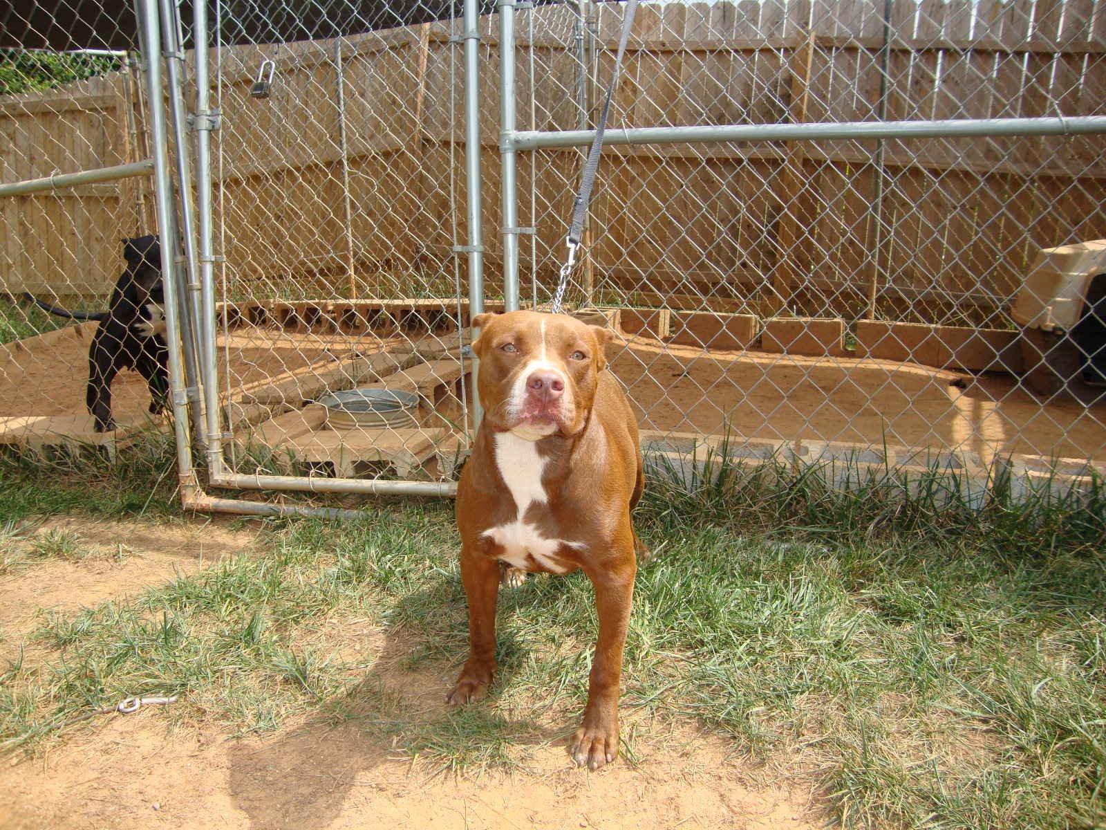 Fotos de perros Pitbull, Rottweiler y Dogo Argentino