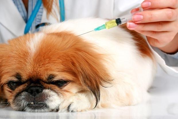el moquillo canino sintomas de diabetes