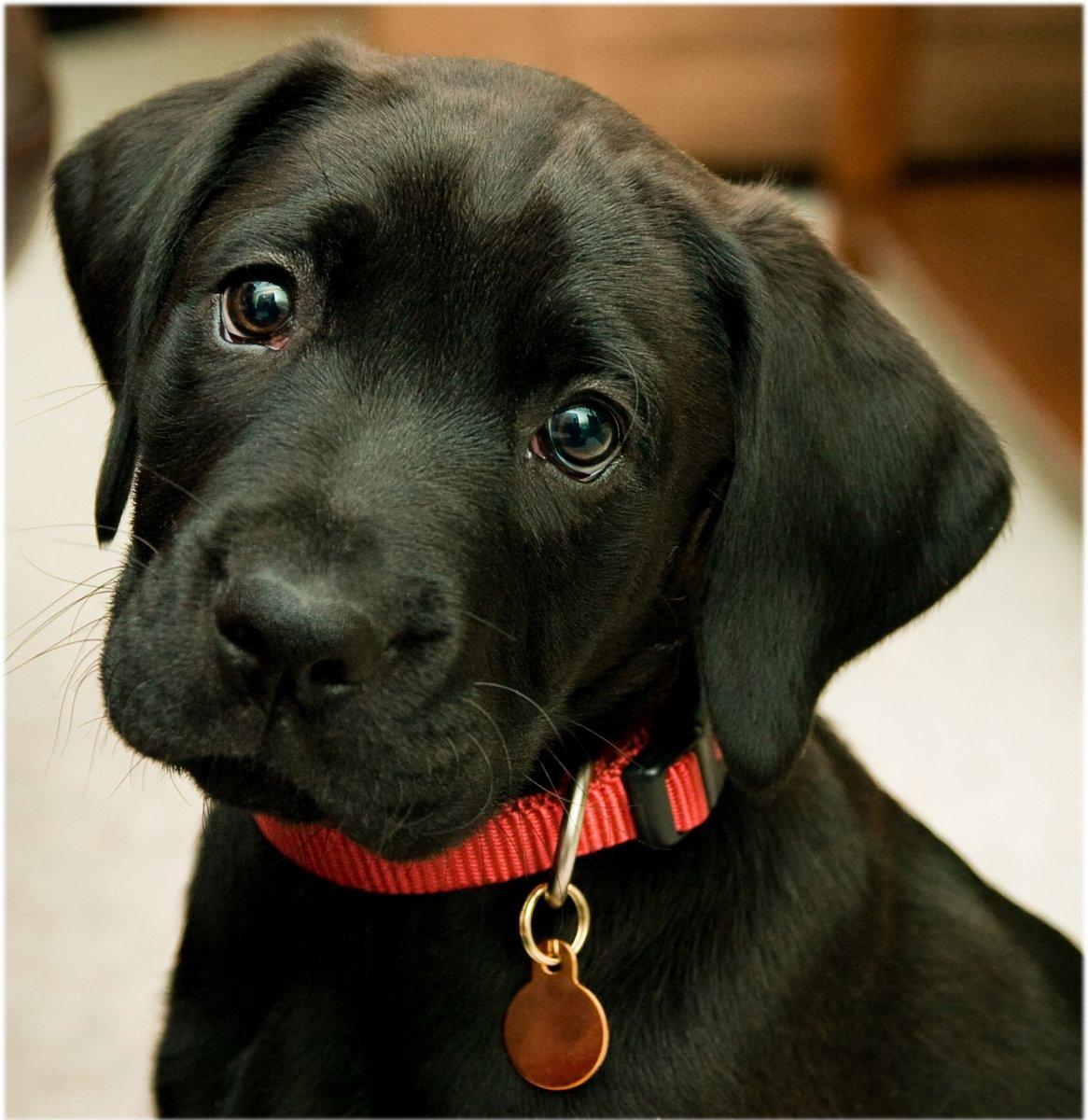 Posibles problemas de salud en el Labrador Retriever PerrosAmigoscom
