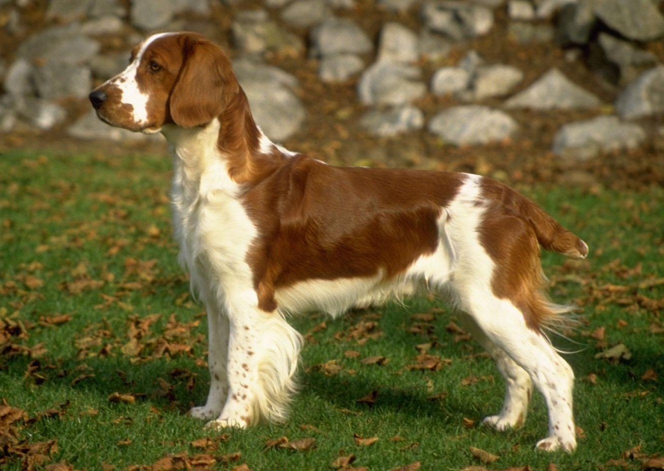 Pictures of lab mix springer spaniels dog breeds picture