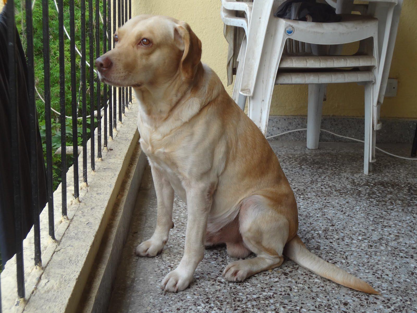 Razones Para Adoptar A Un Perro Adulto Perrosamigos Com