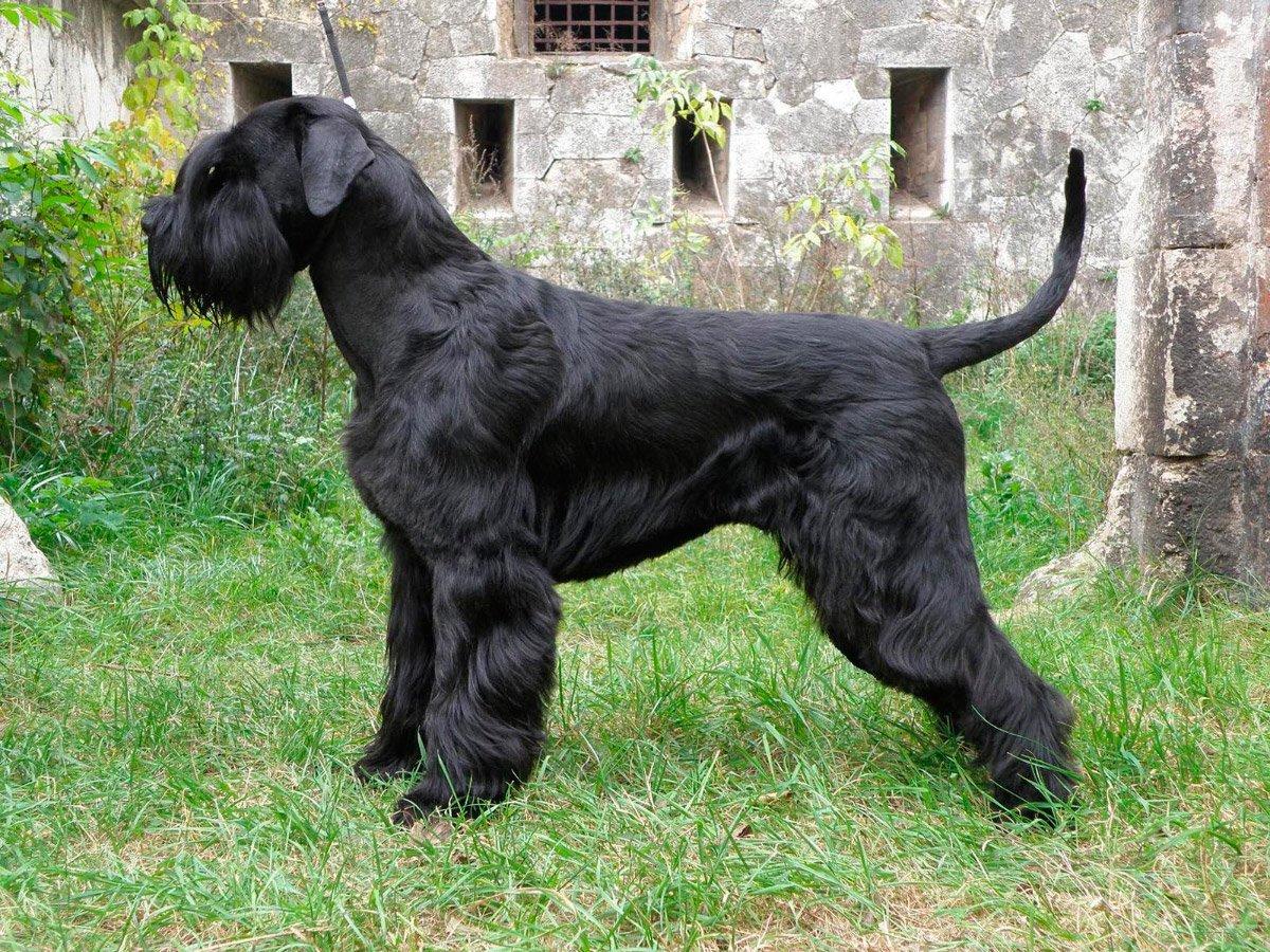 Nombres y fotos de las razas de perros 49