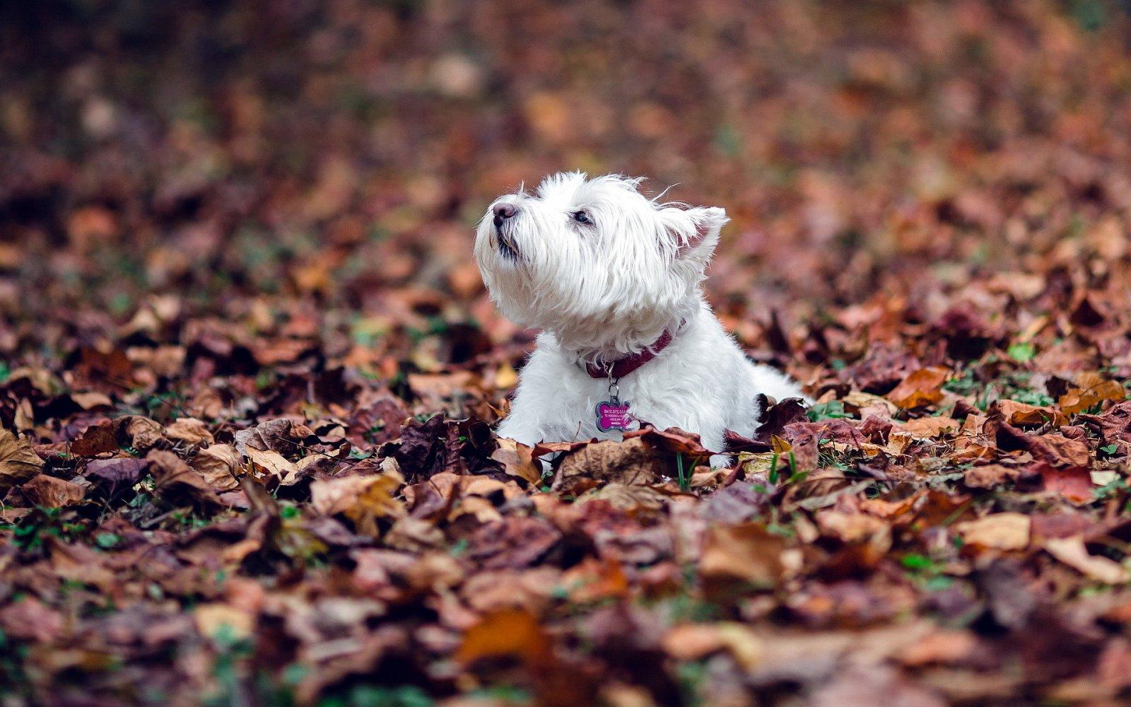 Fotos Del West Highland White Terrier Westie