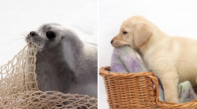 Fotos que muestran que las focas son como los perros del mar (2)