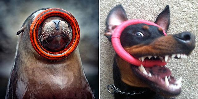 Fotos que muestran que las focas son como los perros del mar (5)