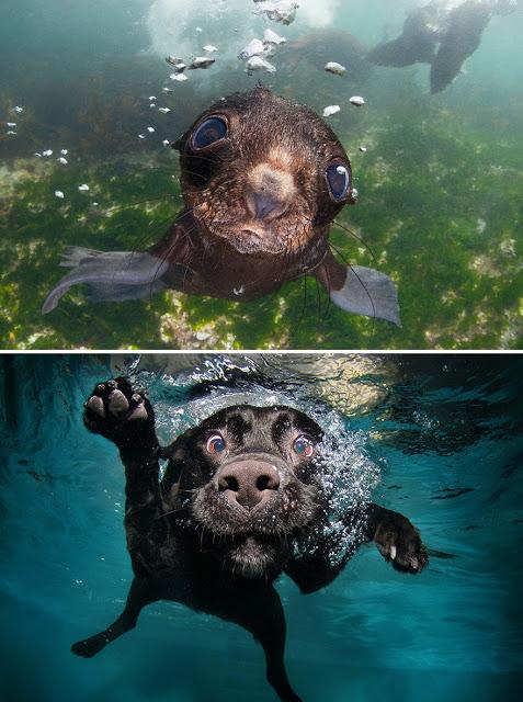 Fotos que muestran que las focas son como los perros del mar (8)