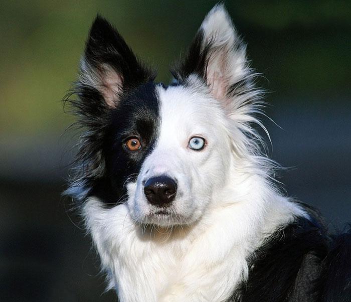 Perros Con Ojos De Diferentes Colores Perros Amigos