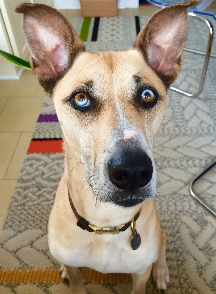 Different Coloured Eyes In Dogs
