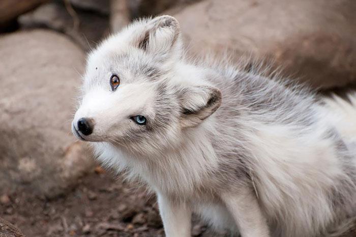 Perros con ojos de diferentes colores - Perros Amigos