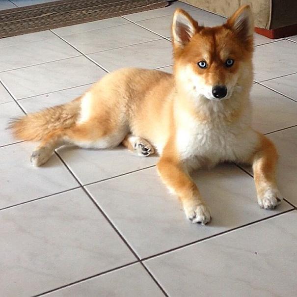 Pomsky un perro que parece un zorro (1)