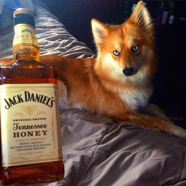 Pomsky un perro que parece un zorro (11)