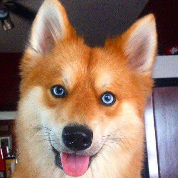 Pomsky un perro que parece un zorro (12)