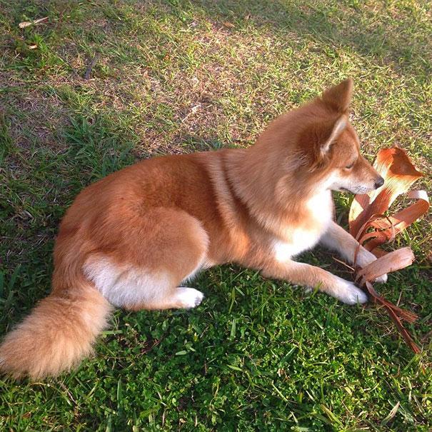 Pomsky un perro que parece un zorro (2)