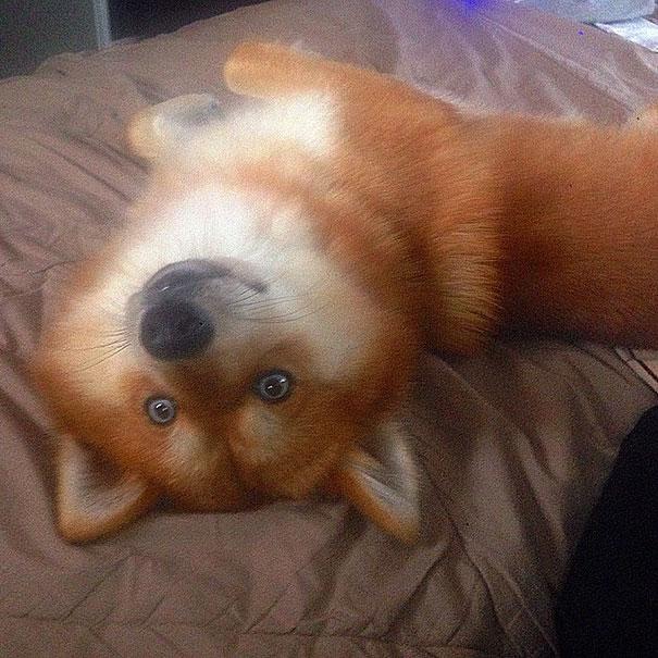 Pomsky un perro que parece un zorro (4)