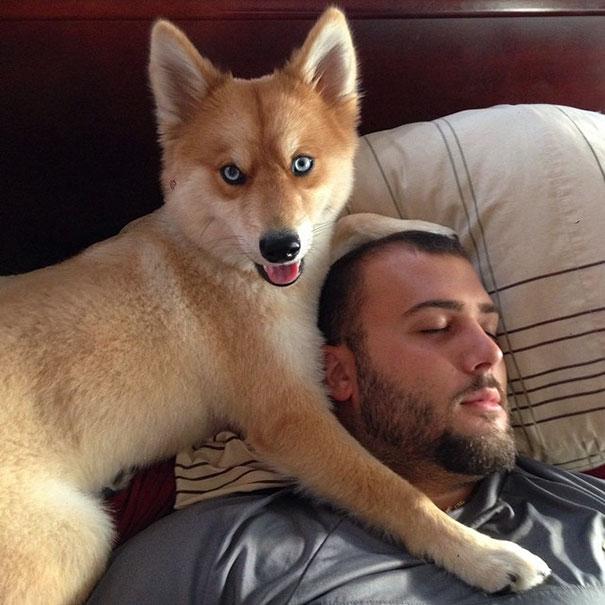 Pomsky, un perro que parece un zorro - Perros Amigos