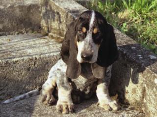 Foto perro Pequeño Azul de Gascoña